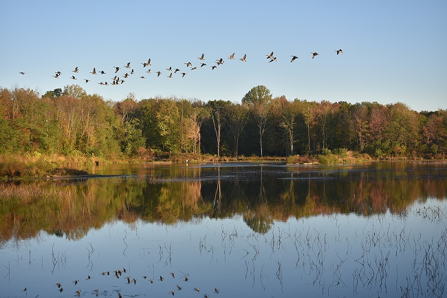 Geese flying over a lake with fall trees in background